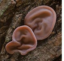 древесные грибы рецепты приготовления